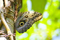 Butterfly Owl Royalty Free Stock Image - 5867136