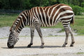 Zebra Grazing Stock Images - 58641954
