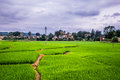 Rice Field Stock Photography - 58656392