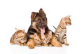 German Shepherd Puppy Dog Embracing Little Bengal Kittens. Isolated Royalty Free Stock Photos - 58664238