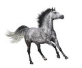 Dapple-grey Horse In Motion On White Background Royalty Free Stock Photo - 58672965