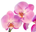 Purple, Pink Branch Orchid Flowers With Green Leaves, Orchidaceae, Phalaenopsis Known As The Moth Orchid, Abbreviated Phal. Stock Photography - 58737112