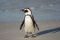 African Penguin On The Beach Royalty Free Stock Photo - 58764515