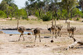 A Family F Ostriches In Makololo Plains - Hwange National Park Royalty Free Stock Image - 58765966