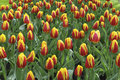 Yellow Red Striped Tulip Stock Photography - 58772052