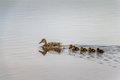 Ducklings Following Mother In Water Concept. Stock Images - 58773344