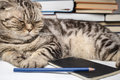 Funny Scottish Fold Cat Doing Homework, She Was Tired And Fell Asleep Among The Study Books Royalty Free Stock Photography - 58794777