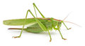 Green Grasshopper Isolated On White Royalty Free Stock Photos - 58818468
