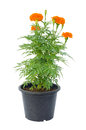 Marigold Flower In Pot Royalty Free Stock Image - 58827666