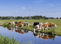 Dutch Farmland With Cattle Royalty Free Stock Images - 58863839