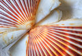 Sea Shell Scallop Fan Pattern Royalty Free Stock Images - 58866879