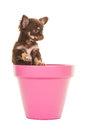 Cute Chihuahua Puppy In A Pink Flower Pot Stock Images - 58892024