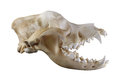 Saint Bernard Dog Skull Isolated On A White Background Royalty Free Stock Photography - 58902497
