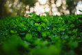 Lush Green Carpet Of Clover Close Up Stock Photography - 58910802