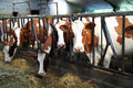 Cows Are Fed In The Stable Royalty Free Stock Photography - 58939437