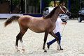 Thoroughbred Arabian Breed Colt Running Across Showground With T Stock Photo - 58950070