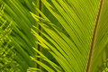 Closeup Of Cycad Palm Leaf Stock Photo - 58965070