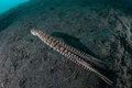 Mimic Octopus Over Black Sand Royalty Free Stock Images - 58977569