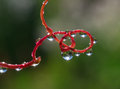 Colored Water Drops On A Red Stem. Stock Images - 58990234