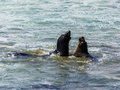 Sea Lions Fight In The Waves Of The Ocean Stock Photography - 58997722