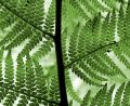 Green Fern Leaves Royalty Free Stock Photography - 598937