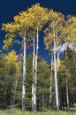 Stand Of Quaking Aspens Royalty Free Stock Image - 599696