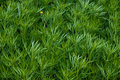 Field Of A Green High Grass Of A Wormwood Royalty Free Stock Image - 5904856
