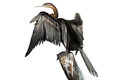 African Darter Over Branch And White Background (side View) Royalty Free Stock Photos - 59012968