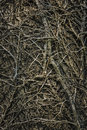 Twining Leafless Creeping Branches Royalty Free Stock Image - 59033816