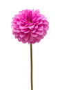 Dahlia Royalty Free Stock Photo - 59045295