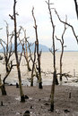 Dead Mangrove Trees, Borneo, Malaysia Stock Images - 59057434