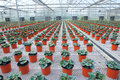 Flower Cultivation Stock Photography - 59064102