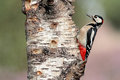 Great Spotted Woodpecker Stock Photo - 59078420
