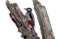 Great Spotted Woodpecker Stock Images - 59078424