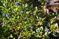 Large Light Blue Berries Blueberry Garden, Growing A Bunch And Hidden Green Foliage On The Branches Of A Bush. Stock Photography - 59089762