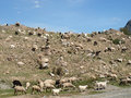 Sheeps At The Altai Mountains Stock Photo - 59093210