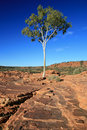 Lone Tree - Kings Canyon, Australia Stock Images - 5911464