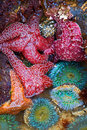Starfish And Sea Anemones Royalty Free Stock Photo - 5913455