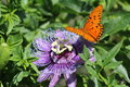 Wild Passionflower And Gulf Fritillaries Royalty Free Stock Images - 59102559