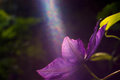 Clematis Royalty Free Stock Images - 59124119