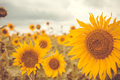 Sunflowers Royalty Free Stock Photography - 59134057