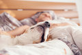 Close Up Image Beagle Snout In His Owner Bed Royalty Free Stock Photo - 59140505