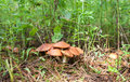 Forest Edible Mushrooms In The Grass Royalty Free Stock Photo - 59145355