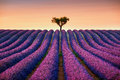 Lavender And Lonely Tree Uphill On Sunset. Provence, France Royalty Free Stock Photography - 59146787