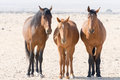 Three Wild Horses Of Namib Desert Royalty Free Stock Photo - 59179455