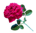 Red Rose, Isolate Royalty Free Stock Photos - 59213188