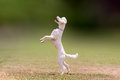Beautiful Jump Of A White Poodle Dog. Royalty Free Stock Photo - 59250305