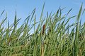 Green Reed Stock Photos - 59260183