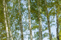 Birches Stock Images - 59283344
