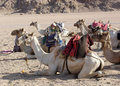 Camels Stock Photo - 5938200